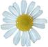 カモミール(花)